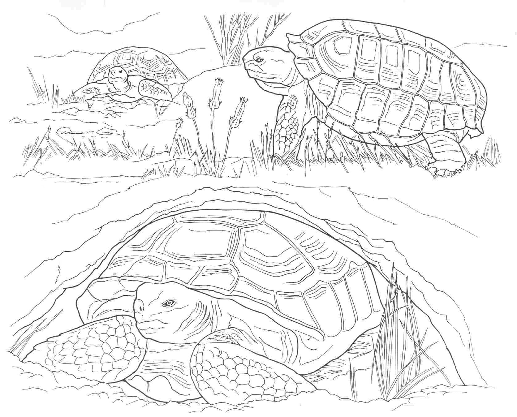 Free Coloring Pages Desert Animals : Free coloring pages of desert animals